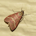 Volupial Pyrausta Moth