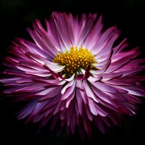 purple ... by Naiden Bochev - Flowers Single Flower ( purple flower dream love sky garden heaven beauty )