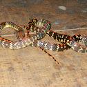 common liana snake