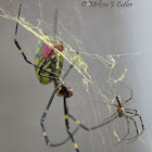 Male and Female Joro Spider