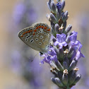 Icarusblauwtje, Common blue