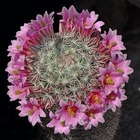 by Dawn Hoehn Hagler - Uncategorized All Uncategorized ( pink flower, tucson, degrazia gallery in the sun, pink, cactus,  )