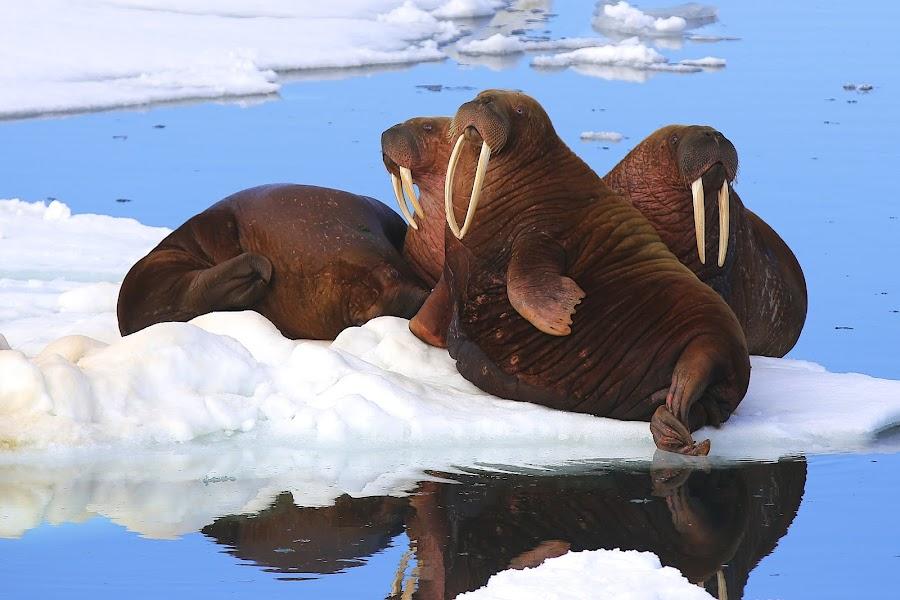 Hang time by Capt Jack - Animals Sea Creatures ( amazing, mammals, wallys, sea mammals, ivory, tusk, fun, beauty, big, tusks, walrus )