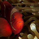 Spine cheeked anemone fish