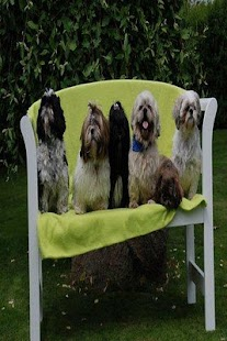 Kennel Shih Tzu Paradis - screenshot thumbnail