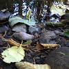 Oregon tree frog