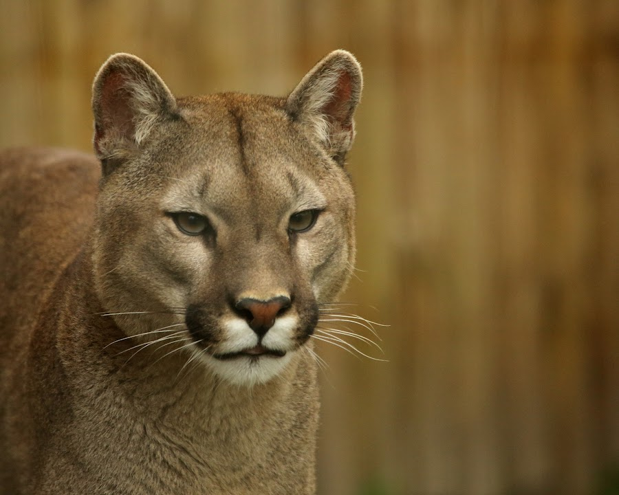 Puma by Selena Chambers - Animals Other Mammals ( cat, cougar, wildlife, mountain lion, puma )