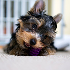 chew time by Christopher Wu - Animals - Dogs Puppies (  )