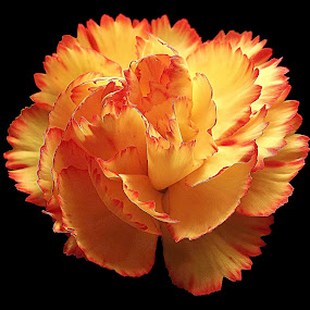 Into the Light by Diana Postill - Flowers Single Flower ( macro, nature, blossom, flower, closeup,  )