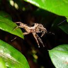 Common Housefly Catcher