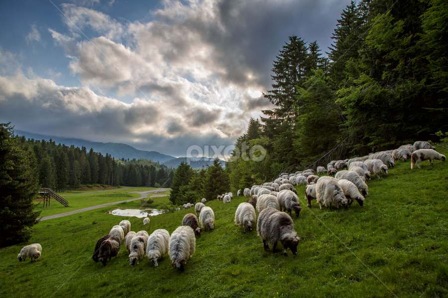 A flock of mountain sheep by Stanislav Horacek - Landscapes Prairies, Meadows & Fields