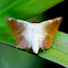 Picture-winged Leaf Moth