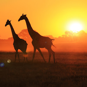 Giraffe Sunset Flare - African Wildlife Dusk by Dries Alberts - Landscapes Sunsets & Sunrises ( freedom, silhouette, shine, yellow, glow, backdrop, striking, free, inspiration, friends, iconic, nature, wonder, lovely, light, black, wild, orange, majestic, mysterious, superb, symbolic, dusk, mammal, grace, magnificent, outdoors, golden, captivate, horns, colorful, pair, splendor, screensaver, wildlife, sun, mystic, super, tranquil, gorgeous, giraffe, harmony, wildlife background, gold, inspire, africa, mesmerize, animal, beautiful, fantastic, represent, nature background, color, elegant, sunset, peace, background, golden hour, sunrise,  )
