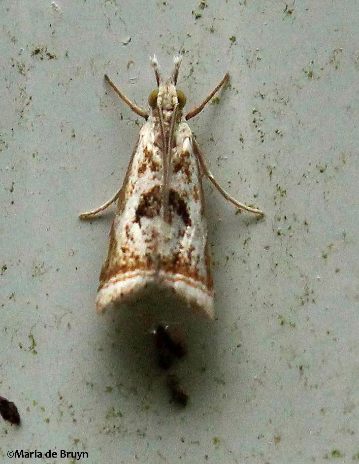 Elegant grass-veneer moth