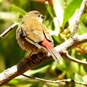 Red-browed Finch (immature)