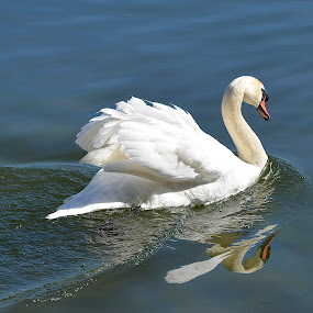 Swan Wake (a play on words) by Ed Hanson - Animals Birds