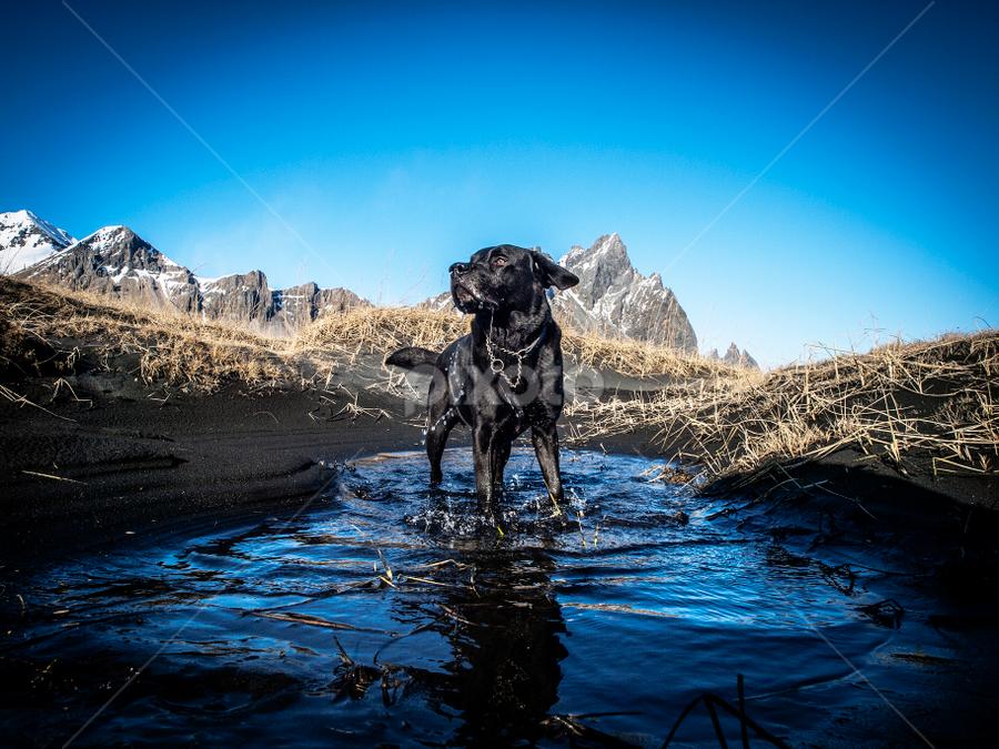 My Kavú. by Runólfur Hauksson - Animals - Dogs Playing ( water, sand, iceland, beach, labrador )