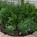 Bee plant, daffodil, poppy, mum, iris