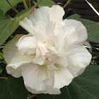 Land lotus/Cotton rose
