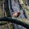Eurasian Red Squirrel - Veverka obecná