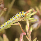 Clouded crimson (larva)