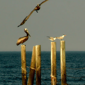 pelican's landing by Amy Barcroft - Animals Birds