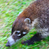 White-nose Coati