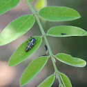 Polished Lady Beetle Larva