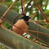 The Rosy Starling