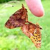 Meadow Fritillary Butterflies mating