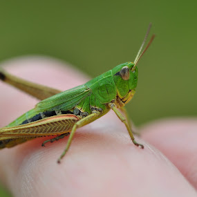 Meadow Grasshopper by Tony Steele - Animals Insects & Spiders ( grasshopper meadow grasshopper )