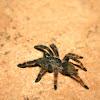 Pica Caballo Tarantula