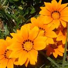Gazania rigens (Flowers from Antalya)