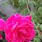 Maldivian Rose