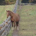 Horse 'Hanovarian'