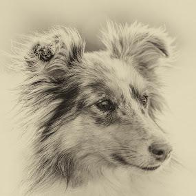 Little Melody by Paul Milliken - Black & White Animals ( collie, dogs, shetland sheepdog, dog portrait, sheltie )