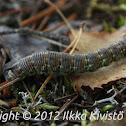 Pine Hawk-moth