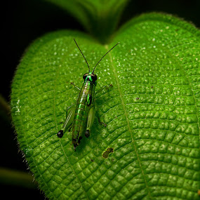 Green on green by Siggy In Costa Rica - Animals Insects & Spiders ( macro, texture, green, leaf, insect, grasshopper,  )
