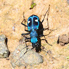 Central American Montane Tiger Beetle