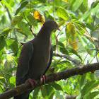 Paloma colorada (Pale-vented Pigeon)