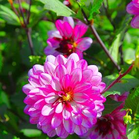 Pink Punch Dahlia by Judy Wright Lott - Flowers Flower Gardens ( nature, bellingham )