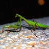 Praying Mantis - Kudlanka nábožná