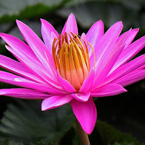 by Helnis Susanto Johannis - Flowers Single Flower