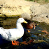 Domestic Duck and possible hybrid