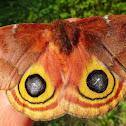 IO Moth, female