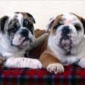 Bulldog Wallpapers icon