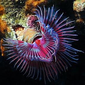 tube worm by Adi Drnda - Animals Sea Creatures