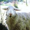 """munching"" sheep"
