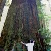 California Redwood