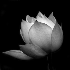 Bright Lotus by Bernice Then - Nature Up Close Flowers - 2011-2013 ( white lotus, lotus, flower, watter lilies )